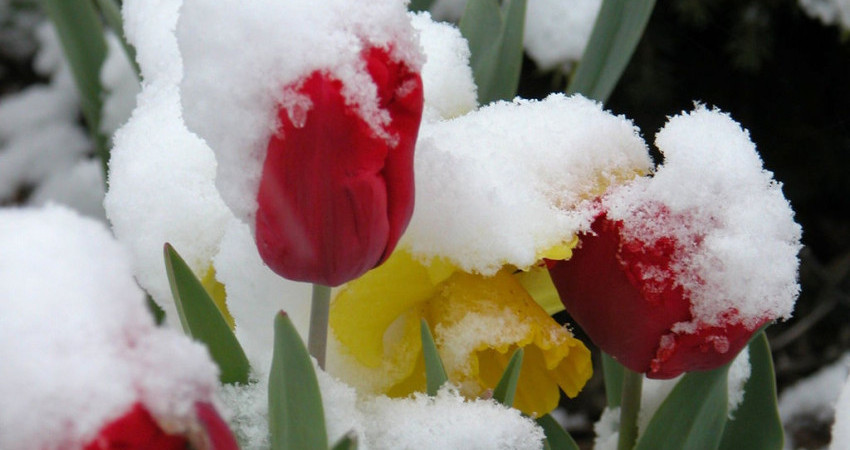 11427345_fb7e158e86_b_flowers-in-snow